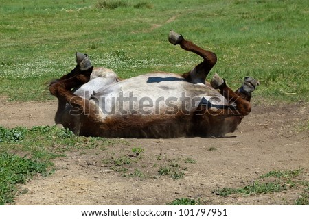 Mule rolling in sand - stock photo