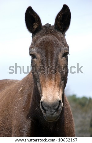 Mule with ears perked up looking into camera - stock photo