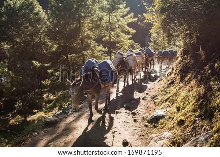 Mules carrying Kerosene up the Mountains, Himalaya, Nepal - stock photo