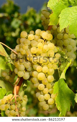 Muller Thurgau grapes ready for harvest for wine production, Umpqua Valley Oregon - stock photo