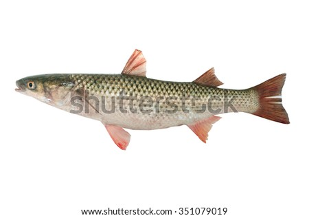 Mullet isolated on white background