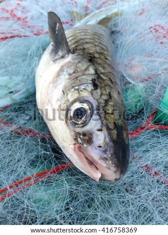 Mullet on fishing net/Diamond Mullet fish/Squaretail Mullet fish/Blackfin Mullet fish/Grey Mullet fish/Large Scale Mullet fish/closeup at face of fish/tropical fish/fresh fish seafood/smile fish  - stock photo