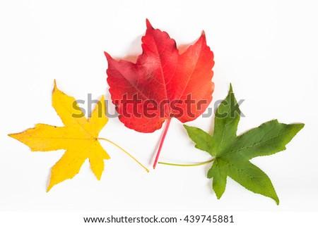 Multi-color japanese maple tree leaf fibre texture decoration on white background: Decorative design organic natural colorful autumn leaves on white colour backdrop - stock photo