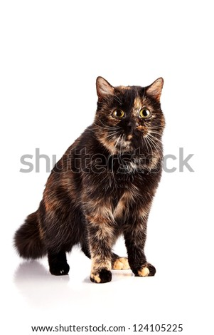 Multi-colored cat on a white background