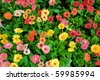 Multi-colored daisy flowers - stock photo