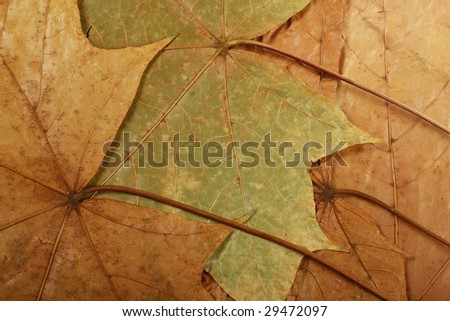 multi-colored maple leaves. suitable as a background