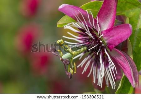 Multi colored Passiflora flower macro - stock photo