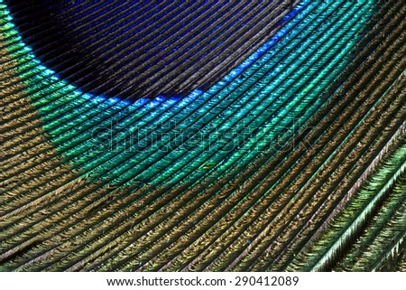 Multi colored peacock feathers,Closeup peacock feathers ,background texture, abstract