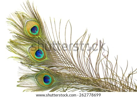 Multi colored peacock feathers,Closeup peacock feathers isolated on white background,Indian peafowl, Blue peafowl (Pavo cristatus)