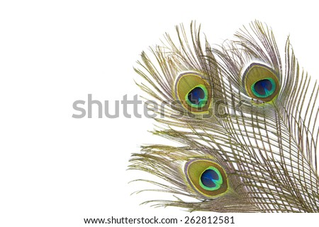 Multi colored peacock feathers,Closeup peacock feathers isolated on white background,Indian peafowl, Blue peafowl (Pavo cristatus) - stock photo