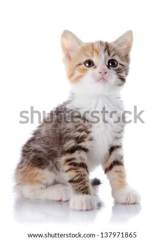 Multi-colored small kitten. Kitten on a white background. Small predator. - stock photo