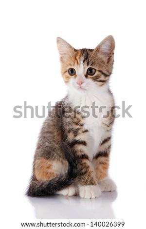 Multi-colored small kitten. Kitten on a white background. Small predator. Small cat. - stock photo