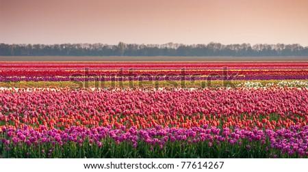 multi colored tulips in rows in the noordoostpolder in netherlands - stock photo