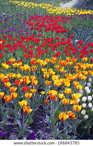Multi coloured tulips on nature background