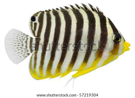 Multibarred Angelfish isolated in white background. (Centropyge multifasciatus ) - stock photo