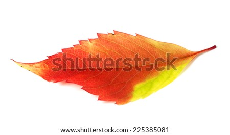Multicolor autumn leaf isolated on white background - stock photo