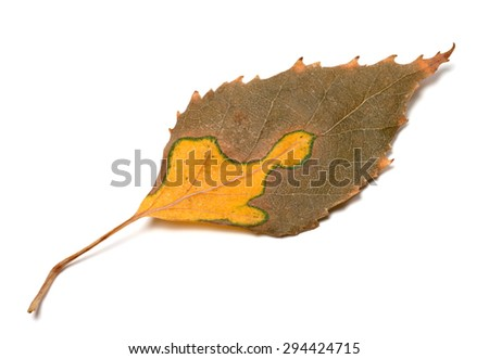Multicolor autumn leaf of birch. Isolated on white background - stock photo
