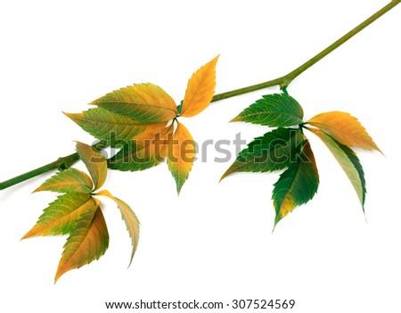 Multicolor autumn twig of grapes leaves, parthenocissus quinquefolia foliage. Isolated on white background.  - stock photo