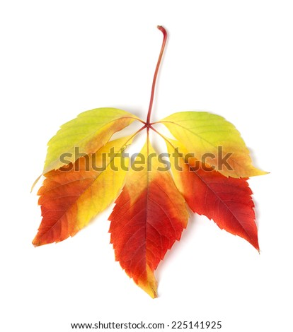 Multicolor autumn virginia creeper leaves isolated on white background - stock photo