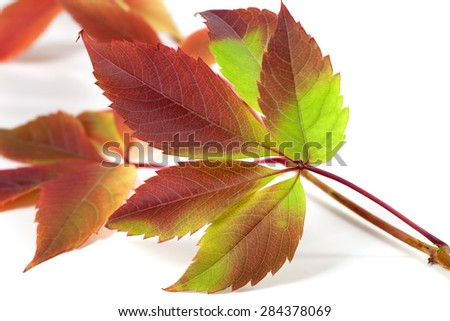 Multicolor autumnal grapes leaves (Parthenocissus quinquefolia foliage). Isolated on white background - stock photo