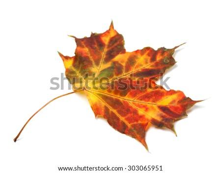 Multicolor autumnal maple leaf. Isolated on white background - stock photo