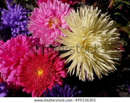 multicolor flower of aster plant