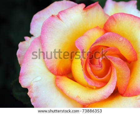 Multicolor rose closeup on black background - stock photo