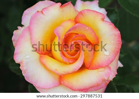 Multicolor rose macro and garden background - stock photo