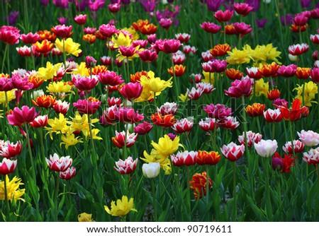 Multicolor tulips - stock photo