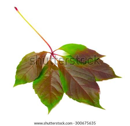 Multicolor virginia creeper leaf (Parthenocissus quinquefolia foliage). Isolated on white background. - stock photo