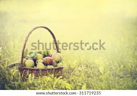 multicolored apples in a basket on the green grass and sun background, toned - stock photo