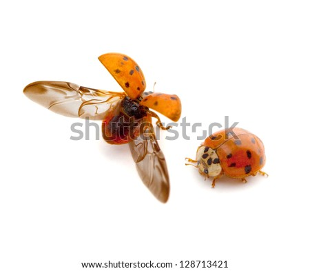 Multicolored Asian Lady Beetle (Harmonia axyridis) - stock photo