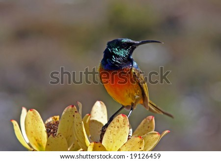 Multicolored Bird at Table Mountain South Africa - stock photo