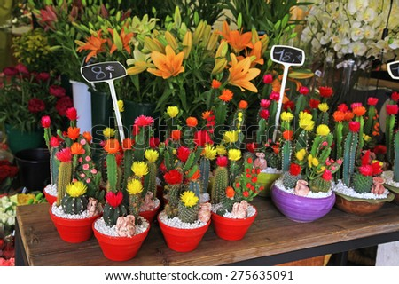 Multicolored blooming cactus in pots in flower shop, selective focus - stock photo