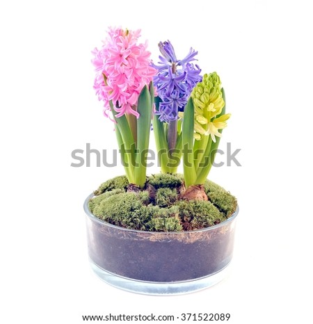 Multicolored hyacinths in glass pot.Spring and winter flowers.