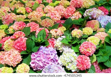 Multicolored hydrangea flowers create a nice nature background