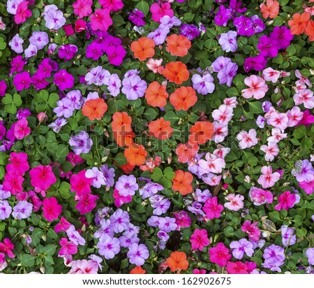 Multicolored impatiens plants blooming profusely in a summer flower garden. - stock photo