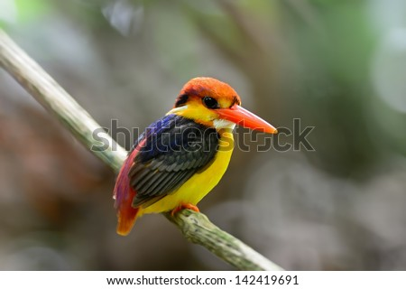 Multicolored Kingfisher bird, Black-backed Kingfisher (Ceyx erithacus), back profile