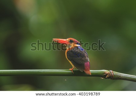 Multicolored Kingfisher bird, Black-backed Kingfisher (Ceyx erithacus), side profile