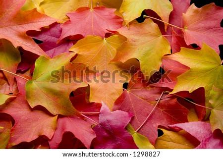 multicolored leaves 2 - stock photo