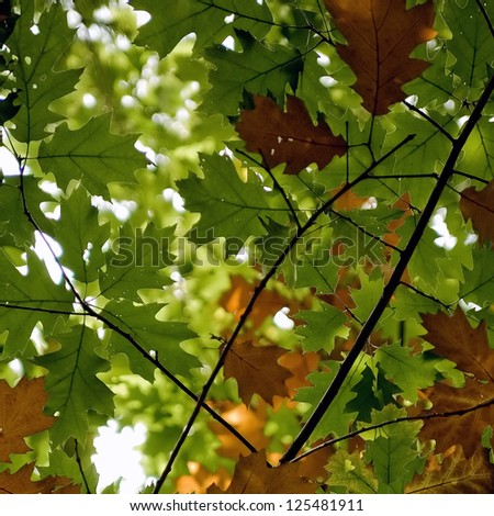 Multicolored leaves of an acorn tree. - stock photo