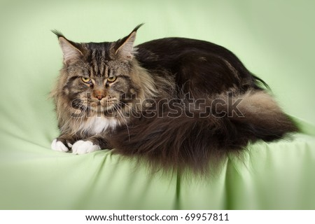 Multicolored  Maine Cat on green background - stock photo