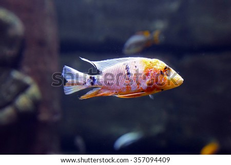 Multicolored Malawi cichlids. Fish of the genus Cynotilapia - stock photo
