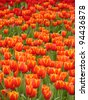 Multicolored of Beautiful tulips - stock photo