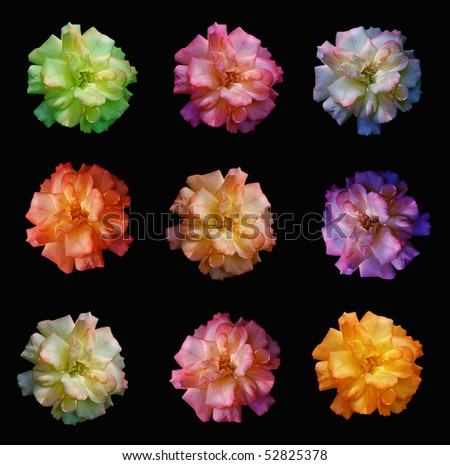 multicolored roses on black backgrond - stock photo