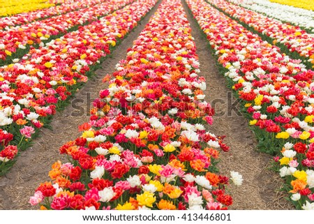 Multicolored tulip field in North Holland during spring     - stock photo