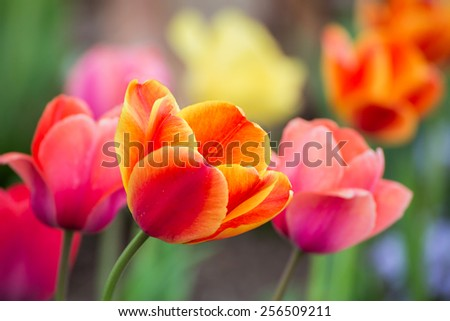 Multicolored tulip flowers bloom in the spring garden. - stock photo