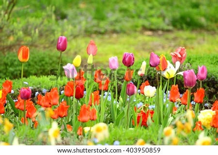 Multicolored tulips flowers in botanical garden - stock photo