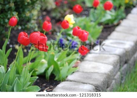 Multicolored tulips in a landscaped garden - stock photo