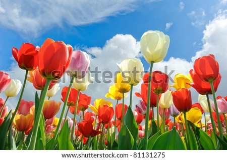 Multicolored tulips on a blue sky background - stock photo